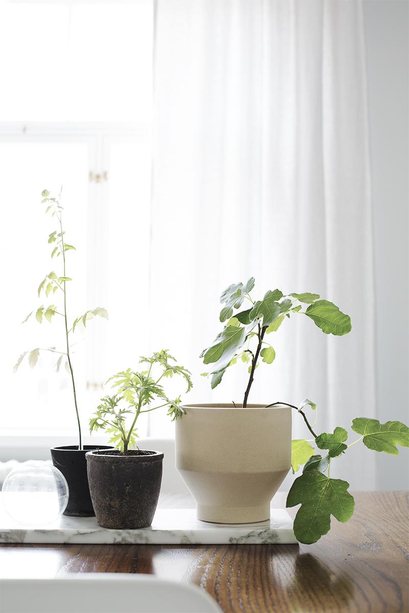 Aitoviikuna, tuoksupelargonia ja muut kasvisuosikit